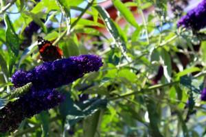 Schmetterlinge Cornelia Hauch